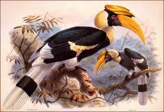 Great Hornbill by JG Keulemans