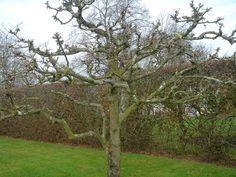Formklippet Ananas æbletræ