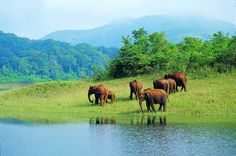 Wild elephants in Periyar national Park