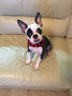 So ugly and cute 😂😂 Mutt Dog, Bully Dog, Beagle Dog, Boston Terrier Love, Boston Terriers, Cute Dogs And Puppies, Doggies, Dog Rules, Good Buddy