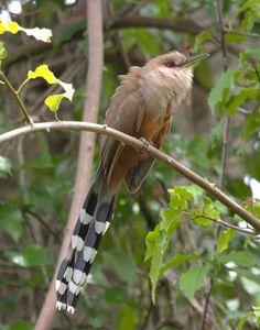 Puerto Rican Lizard Cuckoo(Coccyzus vieilloti)