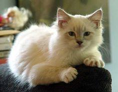 Lynx (ragdoll) Cat | Pawshake Vaudreuil-dorion