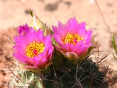 Spring cactus flowers in the Colorado National Monument near Grand Junction. Colorado National Monument, Perfect Place, Cactus, Bloom, American, Spring, Flowers, Plants, Summer
