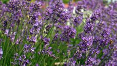 Lavender as a low maintenance perennial Lavender Effective pictures that we offer via yellow perennials A quality picture can tell you many things Here are the most beaut. Yellow Perennials, Flowers Perennials, Lavender Oil Benefits, Desert Plants, Landscaping With Rocks, Purple Haze, Lavender Flowers, Clematis, Flower Beds