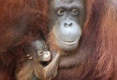 Both species of orangutan are critically endangered. To help: Don't use palm oil or anything that has palm oil in it.