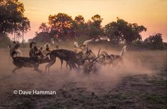 Wild dogs successfully catch an impala after sunset at Chitabe camp in the Okavango delta, Botswana African Wild Dog, Okavango Delta, Wild Dogs, Hunting Dogs, Wildlife Art, Impala, Planet Earth, Wildlife Photography, Fine Art Prints
