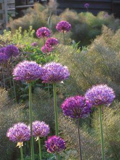 Allium 'Purple Sensation' en Venkel