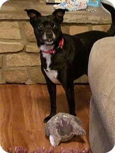 Pictures of Bodie a Boston Terrier/Rat Terrier Mix for adoption in Northport, AL who needs a loving home.