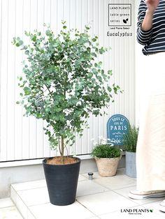 ユーカリに含まれる製油(ユーカリ油)には殺菌・解毒・鎮痛・防虫作用があるといわれています。 Eucalyptus Potted Plants, Garden Plants, House Plants, Hair Glaze, Plant Table, Interior Plants, Planter Boxes, Green Flowers, Flower Beds