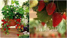 Čisté jahody: pěstování   Prima nápady Strawberry, Fruit, Strawberry Fruit, Strawberries, Strawberry Plant