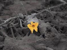 Uma flor é vista desabrochada em meio à grossa camada de cinza acumulada no solo perto do vulcão Sinabung, na vila de Sibintun, na Indonésia...