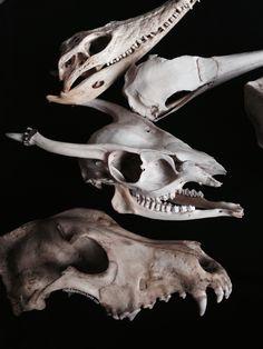 Nile crocodile, gannet, muntjac and German shepherd skull.