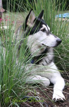 "Meredith says, ""Speaking of the husky... Camouflage FAIL, Loki.  And stop laying on my Lindheimer Muhly! And get out of the butterfly garden! And stop peeing on my plants!"""