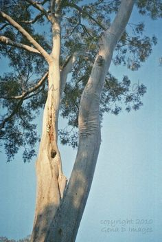 Blue gum trees Eucalyptus Tree, Tree Forest, Photo Tree, Fungi, Forests, Ferns, Garden Plants, Charcoal, Old Things