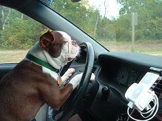 Pets Won't Need Drivers With The Google Autonomous Car ... #pets #animals ... PetsLady.com