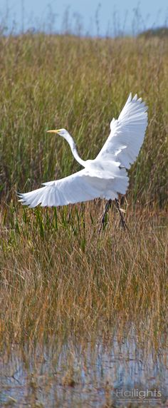 Crane in the Glades
