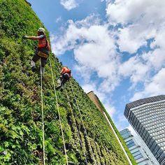 Bom dia! Lindo trabalho do @movimento90 () que está deixando nossa cidade mais linda! Além de encher os olhos de beleza contribui com a fauna local e ainda diminui a temperatura do interior dos prédios. #movimento90graus #minhocao #jardimvertical #sustentabilidade #verde #urbano #corredorverde by aloogabr http://ift.tt/25vJlZi