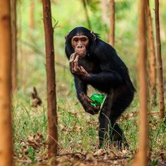 Photo by @ronan_donovan // There are several things to be concerned about in this image of a wild chimpanzee clutching a plastic soda bottle in western Uganda. First, wild animals shouldn't have access to human garbage, especially those animals that are our closest relatives and can contract the same diseases (influenza for example). Secondly, this young male chimp isn't even standing in a natural forest, it's an exotic plantation of eucalyptus. This community of 22 chimps have lost 85% of…