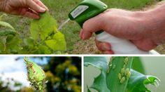 Csináld magad: Csodaszerek levéltetvek ellen Herbs, Gardening, Plant, Creative, Lawn And Garden, Herb, Horticulture, Medicinal Plants