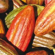 Los árboles del cacao crecen habitualmente en hábitats de climas húmedos cercanos al ecuador. Tardan unos 3 años en dar los primeros frutos y alcanzan su máximo de productividad a los 10 años, dando frutos regularmente durante 30 años.