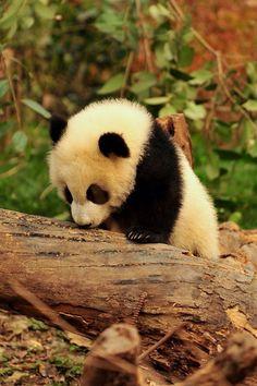 Cutest panda ever!!!!