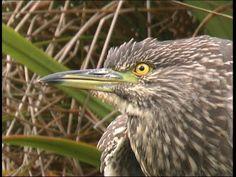Héron bihoreau gris ,juvénile - Night Heron - Nachtreiher - (Nyticorax n...