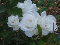 """Iceberg"" rose captures the moonlight and gives off a cinnamon-spice perfume. White Floribunda."