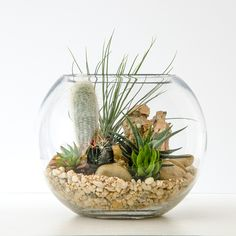 This striking and sculptural terrarium contains cacti, succulents, airplants, chunks of feature stone, pebbles and sand. Suggested additions: transform your terrarium from living decor to mini landscape with a meerkat, lion cub or dinosaurs. Care:A nice bright spot with indirect sun, water when it becomes completely dry (approx. fortnightly in Summer, monthly in Winter). Perfect…
