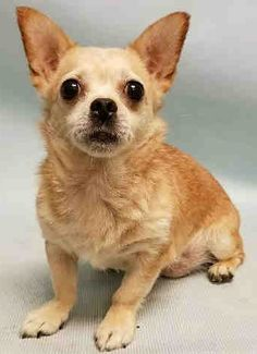 SAFE  8-5-2016 by Balanced Buddies ResQ --- SUPER URGENT 07/30/16 Manhattan Center LINDA – A1083442  FEMALE, BROWN / WHITE, CHIHUAHUA SH MIX, 15 yrs OWNER SUR – EVALUATE, NO HOLD Reason PET HEALTH Intake condition EXAM REQ Intake Date 07/30/2016 http://nycdogs.urgentpodr.org/linda-a1083442/