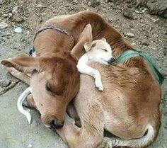 chien et veau