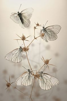 Pihlajaperhosia(ko) alppipiikkiputken kuivaneilla kukkapohjilla, joka tapauksessa, erittäin kaunis kuva!