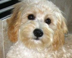 Cava-poo-chon (cavalier king Charles spaniel, mini poodle & bichon frise mix)