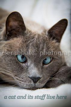 LETZTEN Kopie Kreuz Augen Blue Eyed Cat von PatrickRabbatPhotos