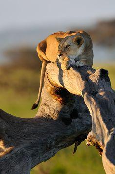 Serengeti lioness* by Nikolai Zinoviev on 500px