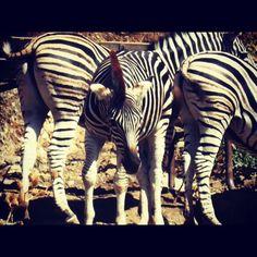 My zebras pose