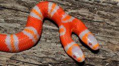 Two-headed albino milk snake