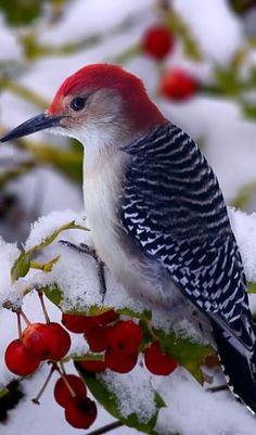 Gorgeous woodpecker!