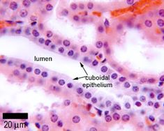 simple cuboidal epithelium labeled - Google Search