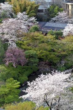 #cherry blossoms, #pond, #beautiful, #spring, #garden,