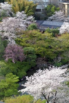 #cherry blossoms, #pond, #beautiful, #spring, #garden,