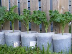 Growing kale in containers.