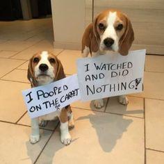 Beagle confessions...