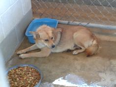 KAYLA located in Delano, CA has 11day Left to Live. Adopt her now! CURRENT...she needs a good home....CLICK ON PICTURE