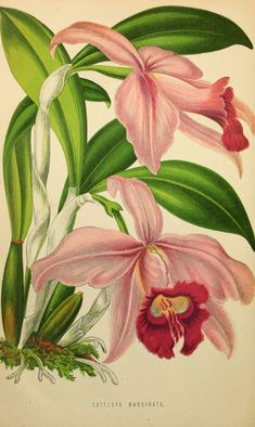 Cattleya pumila [as Cattleya marginata] The Floral world a… | Flickr