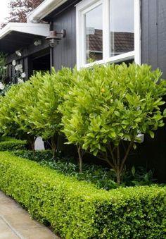 Kumquat trees. Star jasmine underneath, surrounded by box hedge.
