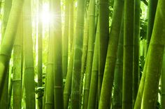 Eazywallz  - Bamboo forest with morning sunlight wall Mural, $130.54 (http://www.eazywallz.com/bamboo-forest-with-morning-sunlight-wall-mural/)