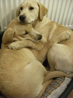 one pup is comforting the other during a thunderstorm. so sweet.