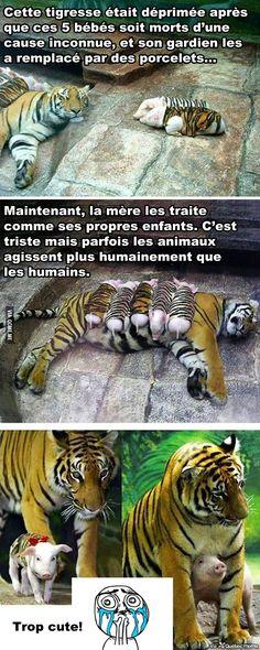 Une Tigresse adopte 5 Porcelets
