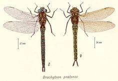 L'Æschne printanière (Brachytron pratense) ou Petite æschne velue