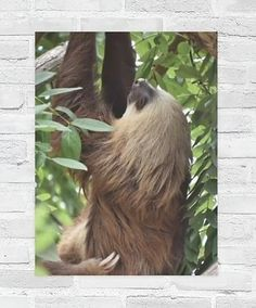 Beautiful poster of a sloth hanging off a tree branch in Costa Rica. A smooth, shine-free, matte finish. Beautiful Photos Of Nature, Beautiful Posters, Nature Photos, Travel Around The World, Around The Worlds, Nature Animals, Sloth, Compassion, Costa Rica